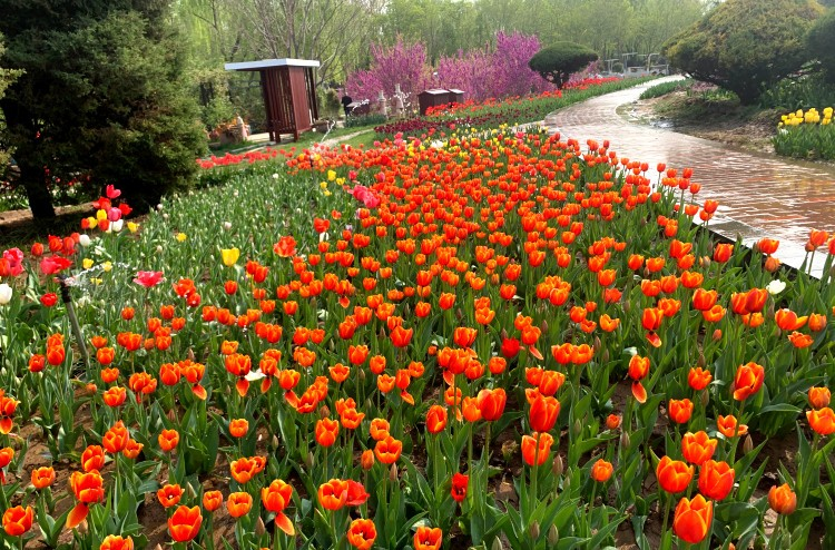 石家庄市植物园第十五届郁金香文化节开幕